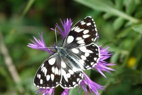butterfly with black and white wings