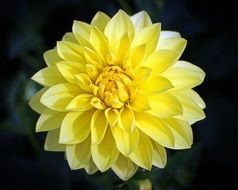 closeup picture of yellow dahlia geothermal plant