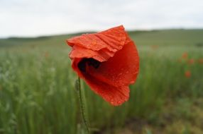 Picture of red meadow poppy