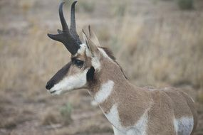 wild pronghorn antelope countryside portrait