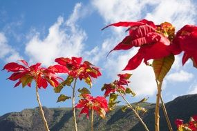 poinsettia against a blue sky with clouds