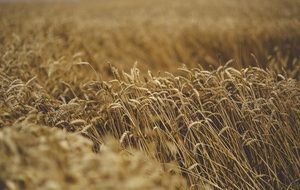 ripe golden cereal field moving by wind