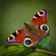 Amazing peacock butterfly on leaf