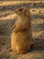 prairie dog stands straight on ground