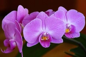 Violent orchid flower macro photo