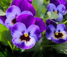 Violet pansy flowers blossom