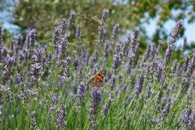 Purple lavender butterfly plant