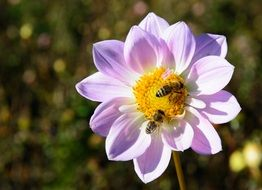 Bees on dahlia flower