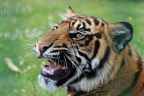 delighting tiger face