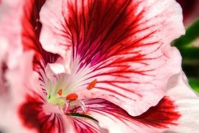 pelargonium flower