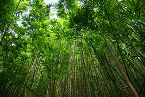 green bamboo forest, bottom view