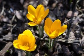 Yellow crocuses on a black-white background