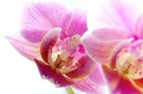 phalaenopsis is a type of orchid