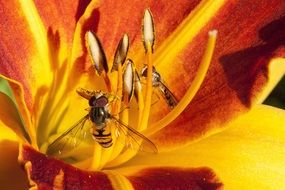 wasp on a daylily flower