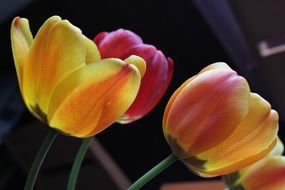 spring bright yellow tulips