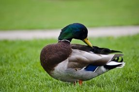 mallard with bright feathers on green grass