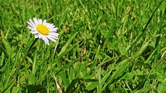 white daisy among green grass