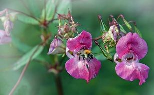 bee pollinates a purple wildflower