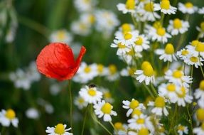red poppy in a field of daisies