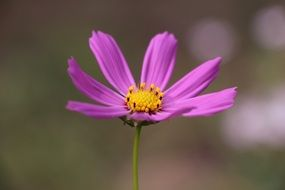 Purple delicate flower on a blurred background