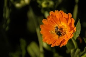 a bee sits on an orange flower