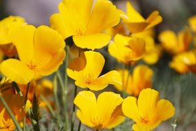 yellow poppies, wildflowers close up