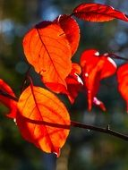 Bright autumn leaves in the sunlight