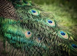 Colored peacock feathers close-up