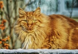Big longhair red cat with expressive yellow eyes