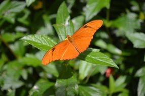 Bright Orange butterfly on green leaves