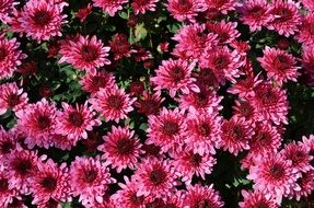 pink flowers on chrysanthemum bush