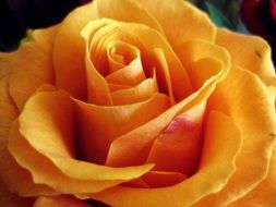 Close up view of a yellow rose