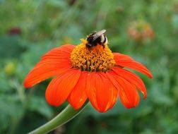 bumblebee on red zinnia flower