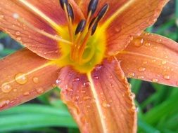 orange day lily in raindrops