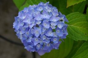 A lot of the blue hydrangea flowers