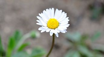 yellow-white daisy pointed flower