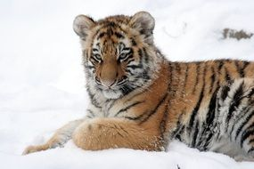 portrait of a tiger in the snow