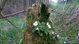 moss on a wood anemone