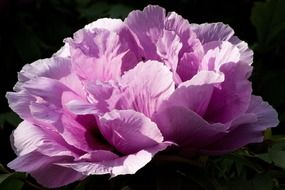 Lush pink peony close-up