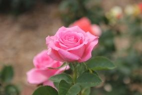 rose pink flower bloom