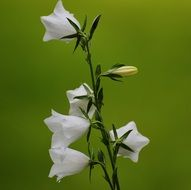 flowers bells white