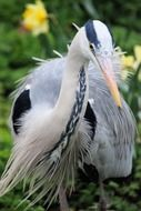 grey heron graceful