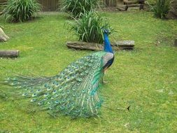 peacock bird with long tail