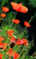 red poppy flowers in a green meadow