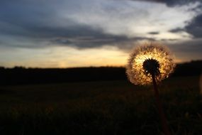 dandelion with seeds in the meadow at dusk