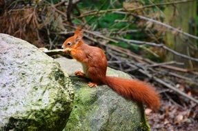 red squirrel on a stone