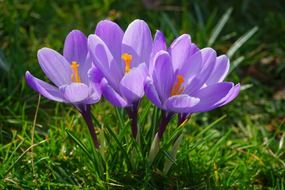 Purple crocus flowers plant spring