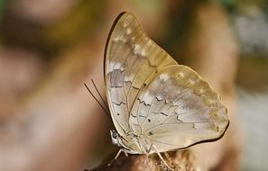 butterfly with light brown wings