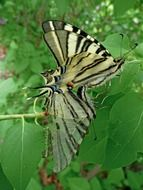 striped butterfly on a background of green leaves