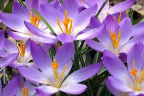 purple crocus with white center close up